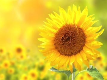 Sonnenblume in einem Sonnenblumenfeld.